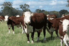 KFSQ73-dam-of-Foxforth-Valuable-sold-to-Talbalba-Herefords